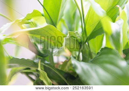 Spathiphyllum Leaves Closeup Green Background Lots Of Light