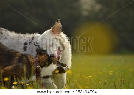 Dogs Play With Each Other. Young Australian Shepherd Dog. Aussie. Merry Fuss Puppies. Aggressive Dog