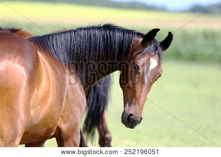 Thoroughbred Youngster Posing On The Green Meadow Summertime. Portrait Of A Purebred Young Horse On