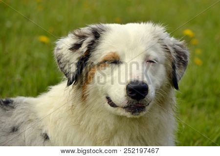 Sunstroke, Health Of Pets In The Summer.  Young Australian Shepherd Dog. Aussie. How To Protect Your