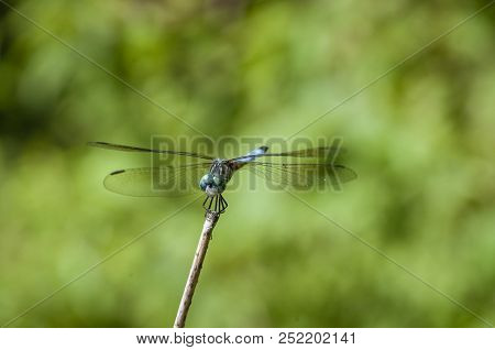 Mature Male Blue Dasher Resting On Reed