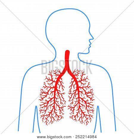 Lungs Bronchi, Human Vector & Photo (Free Trial) | Bigstock