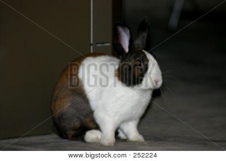 Dutch Rabbit Waiting