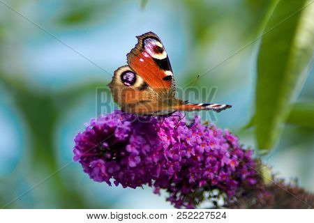 European Peacock Butterfly On A Flower Of Butterfly Bush.aglais Io, The European Peacock,more Common