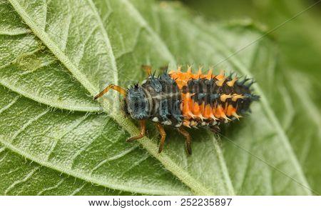 Ladybird Larva On Leaf