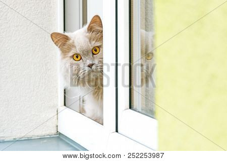 A Gray Cat Looking Out Of The Window