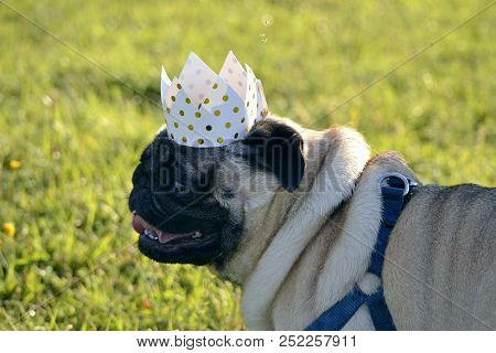 Dog-king. Young Pug-dog.young Energetic Dog On A Walk. Sun. Funny Face. How To Protect Your Dog From