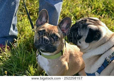 Sunstroke, Health Of Pets In The Summer. Young Pug-dog And French Bulldog. How To Protect Your Dog F