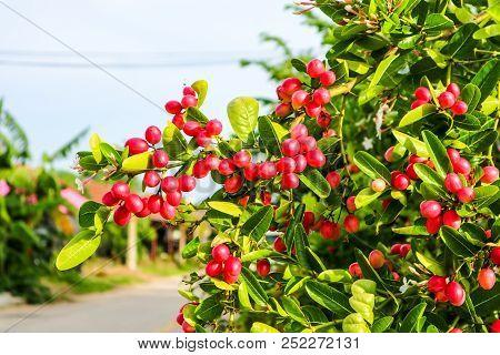 Carunda Or Karonda Fruit Used To Herb And Medicine