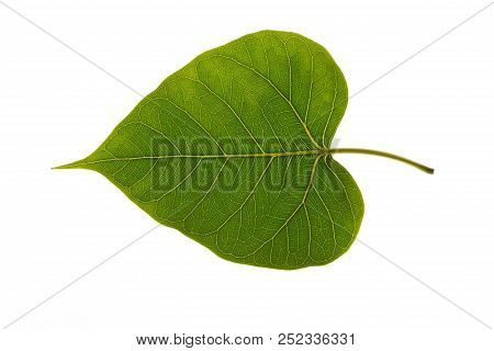 Texture Of A Bodhi Leaves On A White Background.