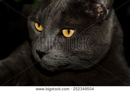 Beautiful Russian Blue Cat With Golden Eyes