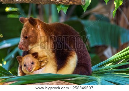 Tree Kangaroo With Her Baby In The Pouch