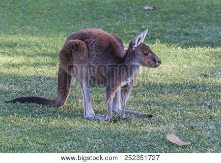 Western Grey Kangaroo (macropus Fuliginosus Melanops), Also Known As The Black-faced Kangaroo.