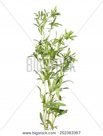 Colorful And Crisp Image Of Summer Savory Plant On White