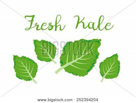 Kale Icon Vector. Fresh Kale Vector Illustration