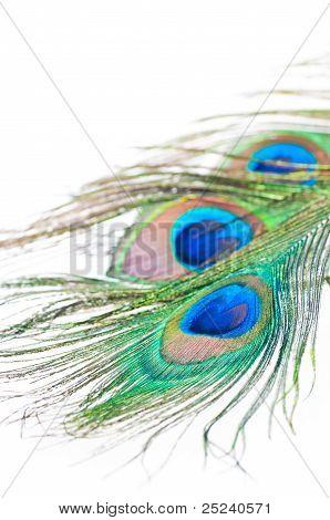 Pluma de pavo real en blanco