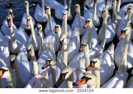 Swans Gather For Feeding