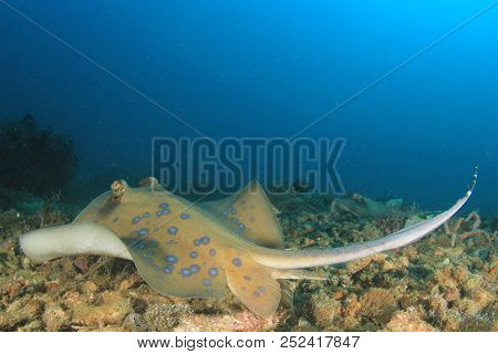 Blue-spotted Stingray. Blue spotted Ray