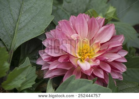 This Is An Image Of A Pink Dahlia Flower