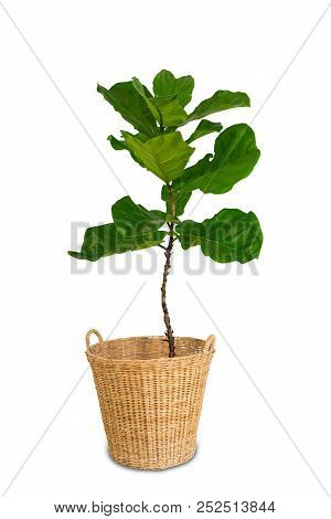 Potted Ficus Larata Or Fiddle Leaf Fig Tree Isolated On White Background.