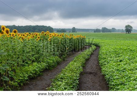 Pictorial Landscape With An Earth Road Among Unripe Sunflower And Soybean  Agricultural Fields In Po