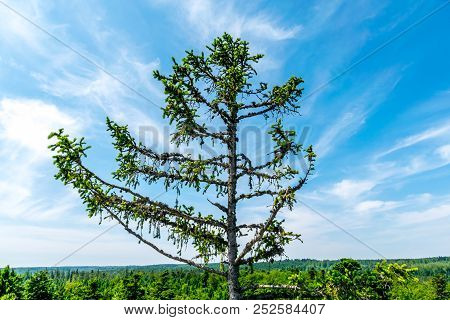 Tree Top Of A Tall Conifer Tree In Front Of The Partially Clouded Blue Sky. In The Lower Background