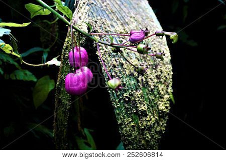 An Unidentified Plant With Pink Balloon Fruits
