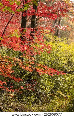 Red Foliage Overlaying Green Foliage In New Hampshire Woods