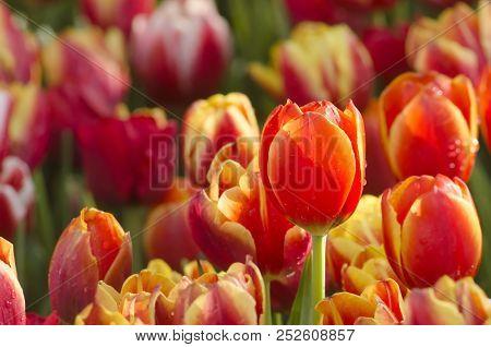 Orange Tulip Flower In Tulip Flower Garden Of Tulip Flower Farm, Floral Pattern, Nature Flowery Text