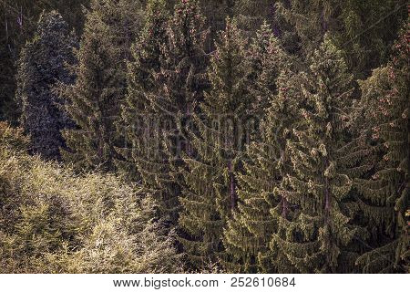 Coniferous Forest, Christmas Trees, Forest Texture. Coniferous Forest, Christmas Trees, Forest Textu