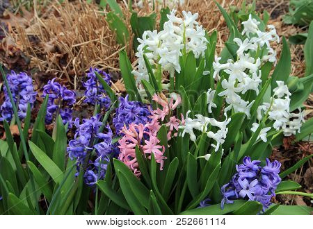 Many Colorful  Hyacinths On The Flower Bed