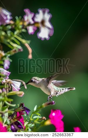 Hummingbird Found In Wild Nature On Sunny Day