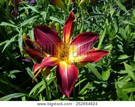 Single Red Lily On The Leaves Background