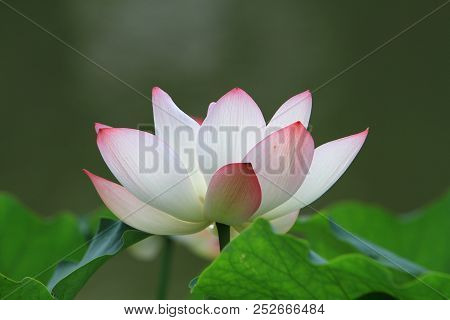A Lotus Flower And Lotus Flower Plants