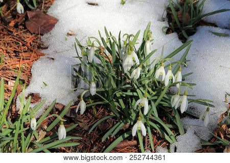 Bush Of White Snowdrops Flowers In Snow