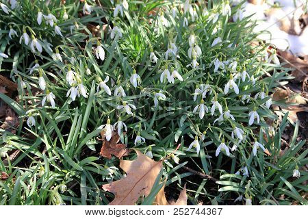 Mny Snowdrops Flowers As A Floral Background