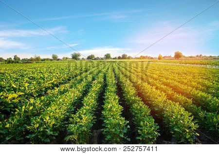 Potato Plantations Grow In The Field. Vegetable Rows. Farming, Agriculture. Landscape With Agricultu