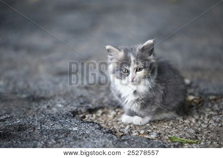 Stray Gray Kitten