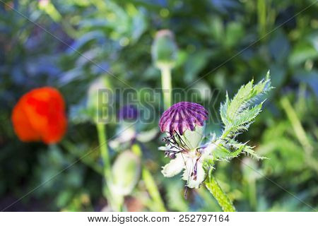 Faded Away Garden Poppy Flower Without Petals