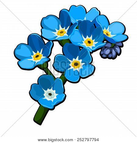 Beautiful Cut Flowers Blue Color Myosotis Arvensis Or Field Forget-me-not, Common Forget-me-not Isol