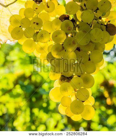vineyard of a winemaker