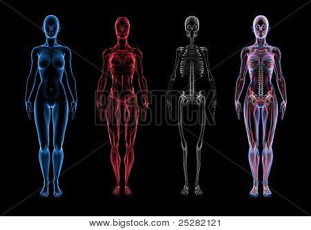Female Anatomy (3D Body, Muscle & Skeleton)