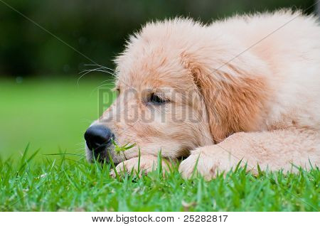 Puppy resting on the grass