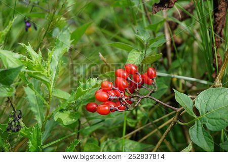 A Cluster Of Poisonous Red Berries Of The Bittersweet Nightshade Plant (solanum Dulcamara) In Joliet