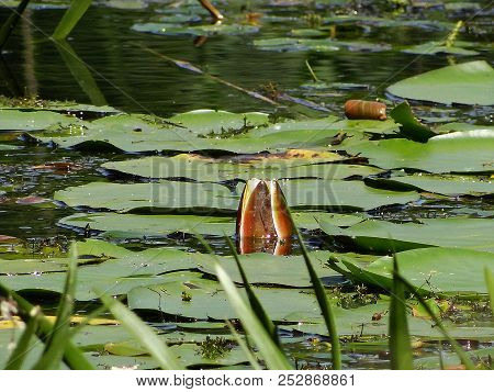 Beautiful Blooming Water Lily On The Pond