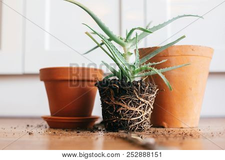 Aloe Vera With Roots In Ground Repot To Bigger Clay Pot Indoors. Care Of Plants. Planting Succulent