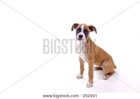 Perfect Boxer Puppy
