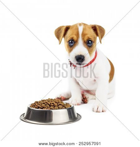 Jack russel puppy with food isolated on white. Animal photography