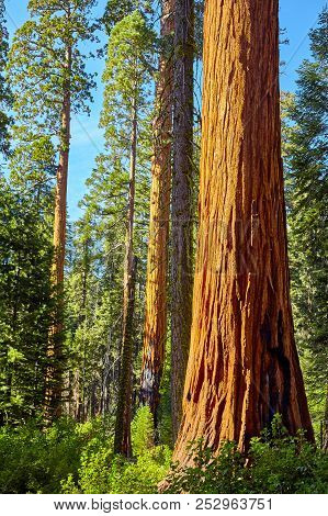 Giant Sequoia In Sequoia National Park, Usa.