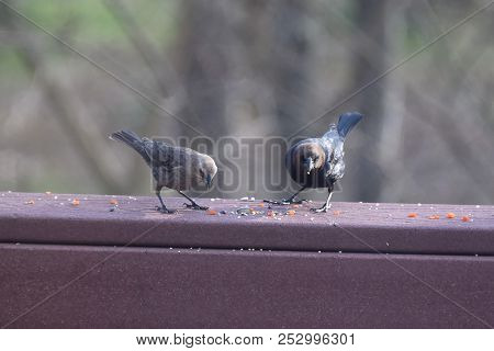 A Pair Of Male And Female Cowbirds Eating Birdseed On A Backyard Deck Porch